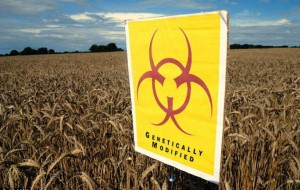 #GMO Chickens Coming Home to Roost